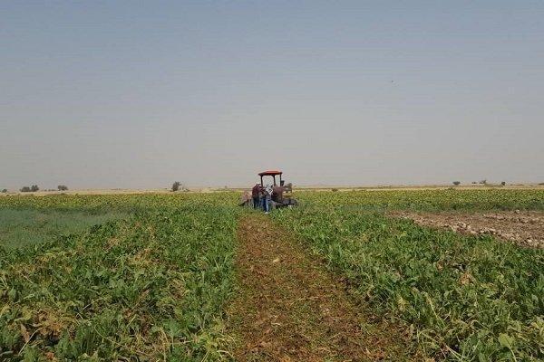 پیش بینی برداشت 280 هزار تن چغندرقند از مزارع نهاوند