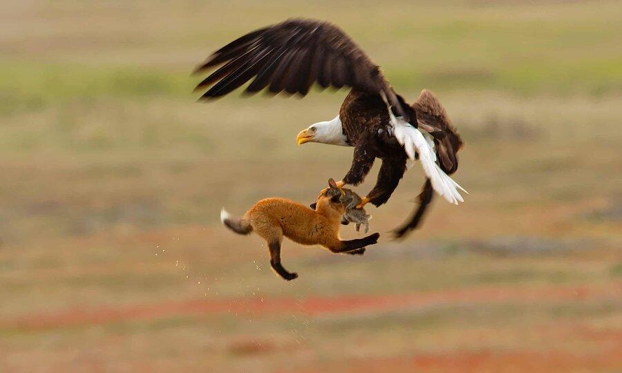 عکس روز: نبرد عقاب و روباه
