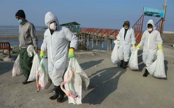 پرندگان مبتلا به آنفلوانزای فوق حاد معدوم شدند