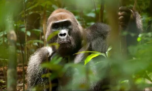 پیش بینی کاهش 90 درصدی زیستگاه های میمون های عظیم در آفریقا