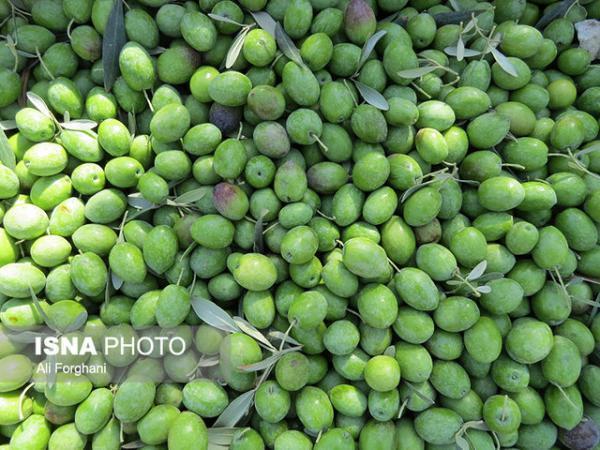 طراحی پلان ویلا: 18 هزار تُن زیتون از باغات قزوین برداشت می گردد